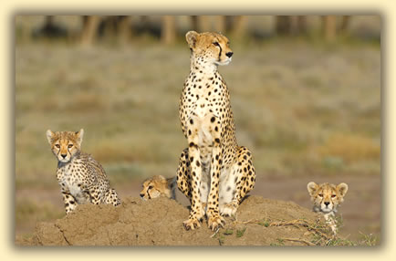 Cheetahs in Serengeti National Park, Tanzania: African wildlife safari images.