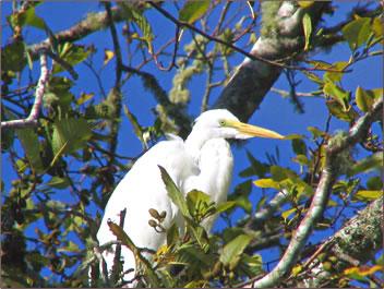 Oregon Coast ecotourism, birds, egret.