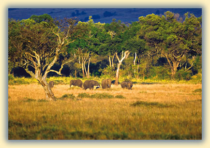 Elephants at Masai Mara National Reserve in Kenya: African wildlife safari images.