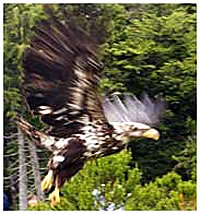 Eagle flight testing center at Alaska Raptor Center.