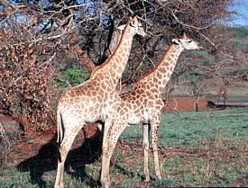 Giraffe in South Africa walking safari vacation.
