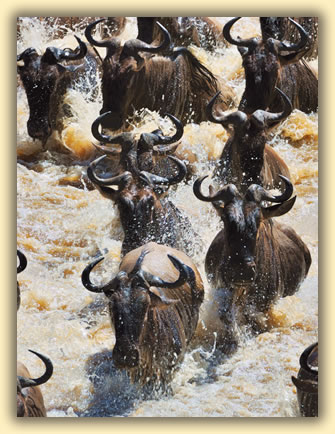 Gnus (wildebeests) crossing Mara River in Kenya: African wildlife safari images.