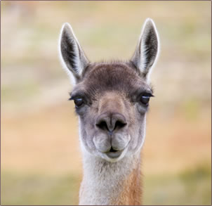 Guanacos are common animals on the high plateaus in Chile and Argentina, Patagonia.