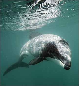 Hector's Dolphin is found only in the waters of New Zealand's South Island.