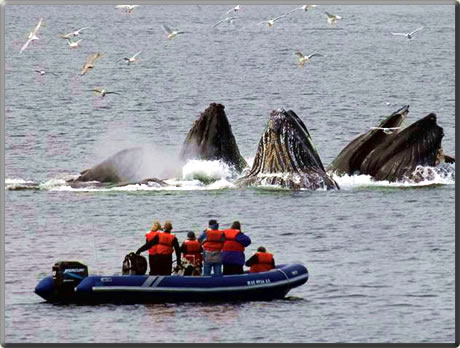 Humpback whales bubble net feeding: whale watching vacations.