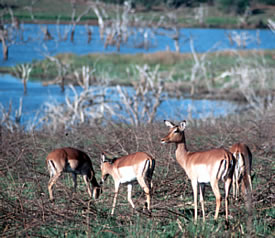Impala create wildlife pictures in South Africa.