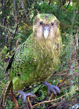 New Zealand endangered wildlife, New Zealand bird watching tours may see rare kakapo.