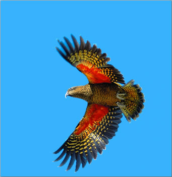 The kea is a highly intelligent parrot species found only in New Zealand.