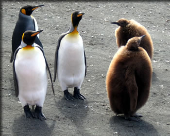 Expedition cruising to Australia's Macquarie Island to see King penguins and their chicks.