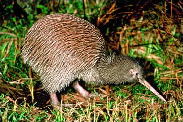 New Zealand's kiwi bird is the national bird.