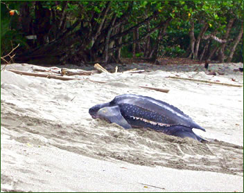 Leatherback turtle on Grande Riviere, Trinidad beach.