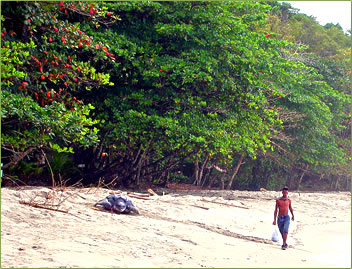 Grande Riviere beach with Leatherback turtle.