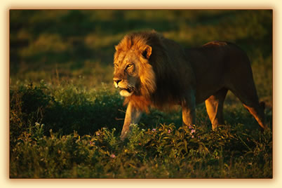 Lion in East Africa: wildlife photography tips.