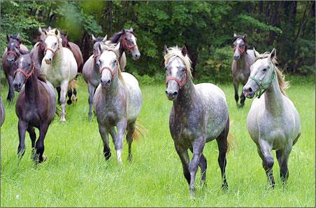 Lipizzan horses, horseback riding holidays, Slovenia vacations.