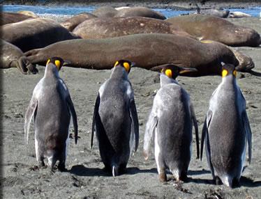 Macquarie Island elephant seals and King penguins.