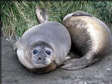 Seal pups on Macquarie Island during expedition cruising Subantarctic islands.
