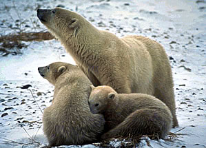 Bear watching vacation, mother polar bear with two cubs