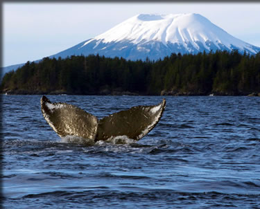 Mt. Edgecumbe and tail of a diving humpback whale, travel to Sitka Alaska.