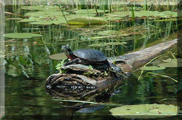 Painted turtles abound in Ontario's lakes and rivers.