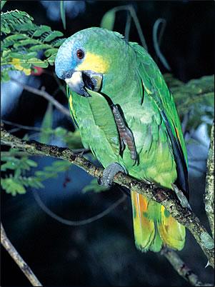 Orange-winged Parrot Trinidad & Tobago bird pictures nature pictures.