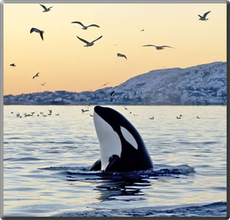 Orca spyhopping: whale watching vacations.