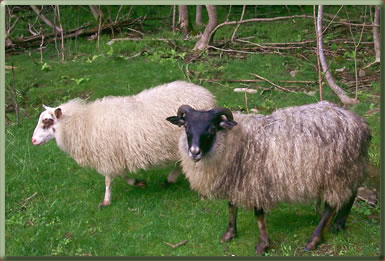 Icelandic sheep on an organic farm in Maine, U.S.A.