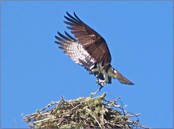 Oregon Coast ecotourism, birds, osprey.