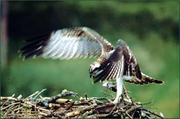 Bird pictures of ospreys are a feature of nature and environmental education on the House of Aigas estate.
