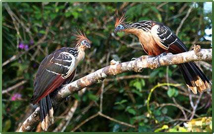 Hoatzin birds, Peru Amazon region, small ship cruising.