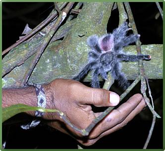 Pink-toed tarantula, Peru Amazon region, small-ship cruises.