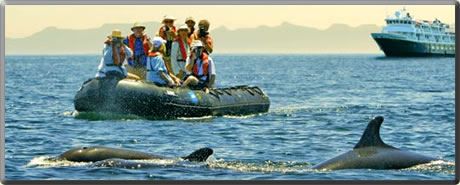 Pilot whales in Sea of Cortez: marine mammal whale watching cruises.