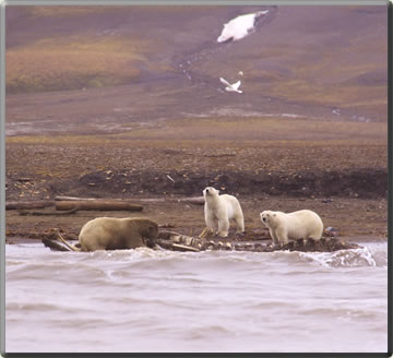 Polar bears and whales: whale watching vacations.