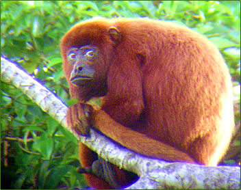 Red Howler monkey in Trinidad nature reserve.