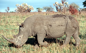 White rhino in South Africa.