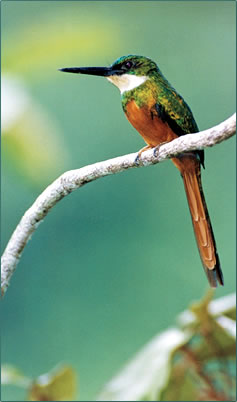 Rufous-tailed Jacamar bird pictures by Roger Neckles photographer.