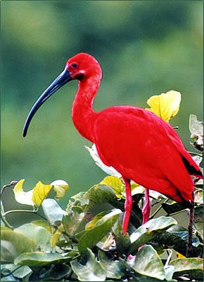 Scarlet Ibis Trinidad and Tobago's national bird.