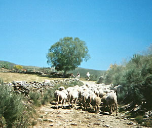 Flock of sheep on the Camino de Santiago walking trail, Spain