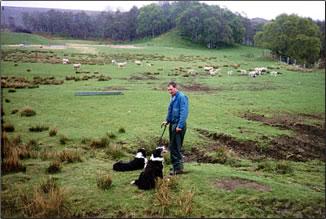 Sheep herding in the Scottish Highlands.