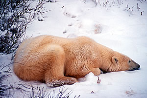 Polar Bear Watching Vacations in Canadian Arctic.
