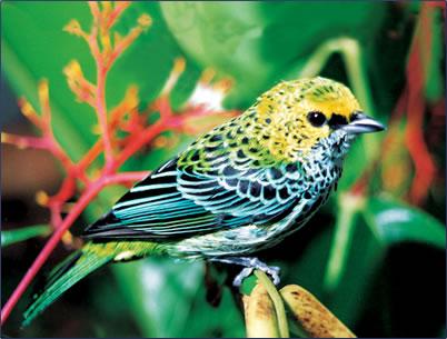 Speckled Tanager Trinidad & Tobago birding nature pictures.