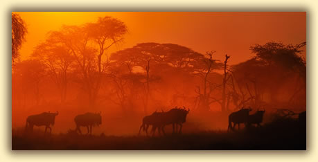 Wildebeests (gnus) in Africa: wildlife photography tips.