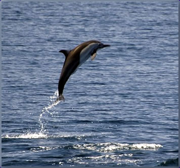Dolphin, Andaman Sea, Thailand best scuba diving holidays.