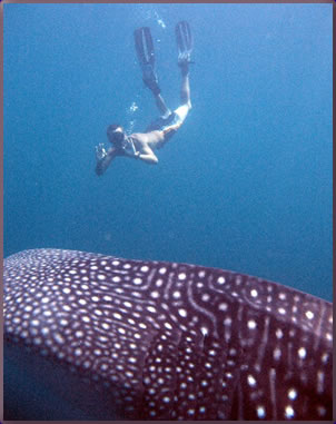 Thailand Similan Islands liveaboard diving with whale sharks.