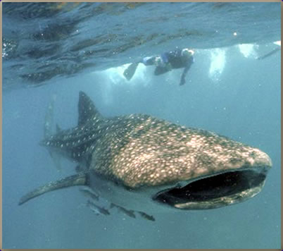 Whale shark and scuba diver: Thailand best scuba diving holidays.