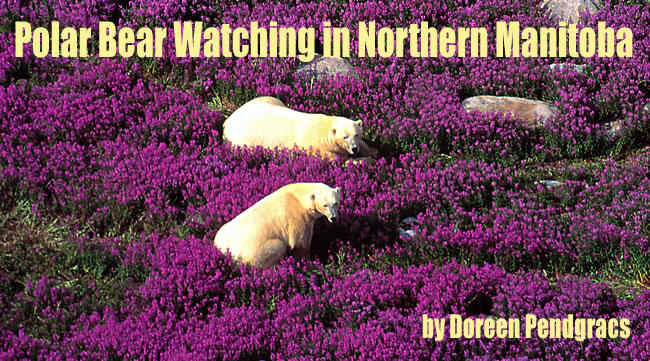 Polar Bear Watching Vacations in Canadian Arctic by Doreen Pendracs.