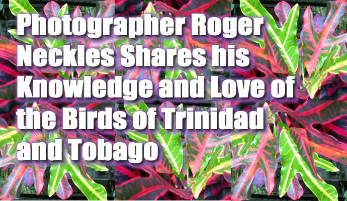 Trinidad and Tobago bird pictures by Roger Neckles, wildlife photographer.