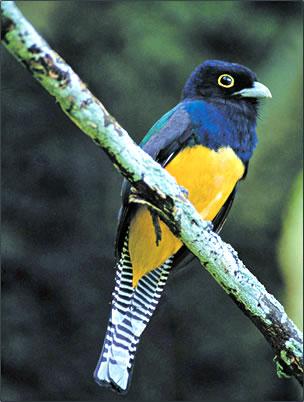Violaceous Trogon Trinidad bird-watching photography.