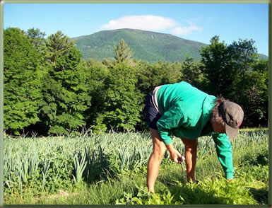 Volunteer harvesting on an organic farm in Vermont.