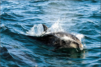 Dolphin swimming in Cardigan Bay, Wales.