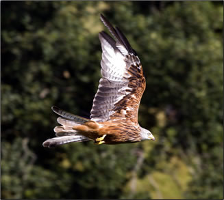 Red kite bird in Wales, Wales nature walks and hikes.